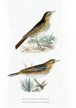 Pipit, Meadow & Tree Pipit Ref: EuropeanBirds-e45